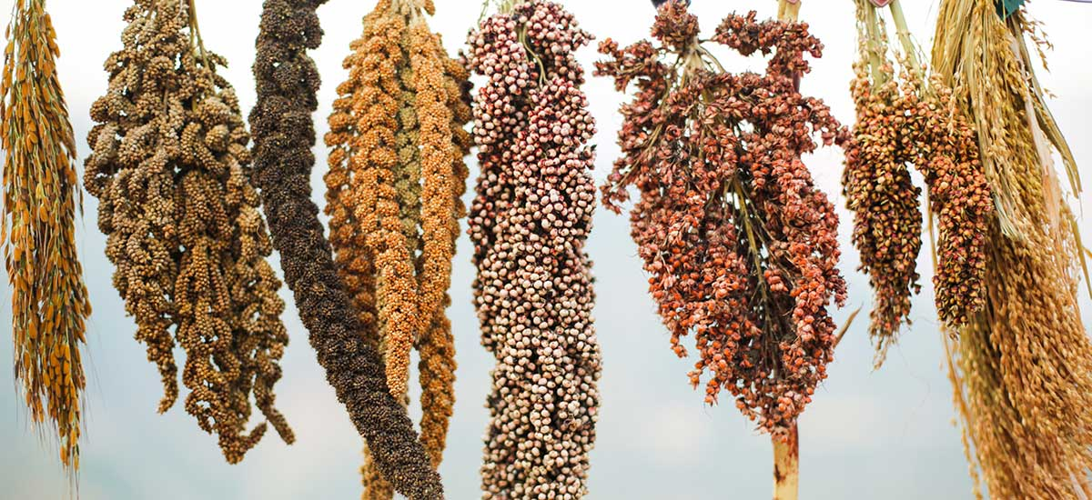 traditional crops